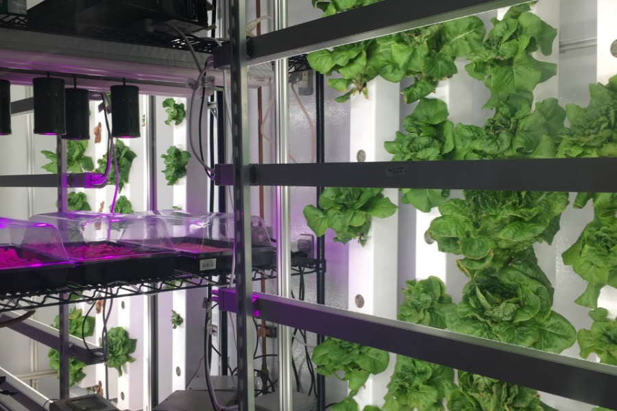 lettuce growing in a hydroponic facility