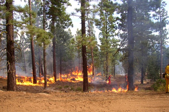modest flames burn along the ground beneath a field of pine trees as a firefighter walks through the background